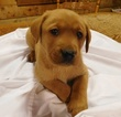 Labrador Retriever Puppy For Sale in WILLIAMS, IN