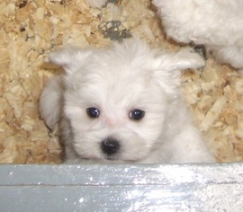 Maltese Puppy For Sale in CARROLLTON, GA