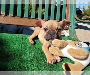 French Bulldog Puppy for Sale in SANTA CLARITA, California USA