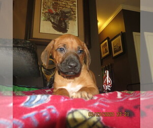Rhodesian Ridgeback Puppy for sale in TRINITY, NC, USA