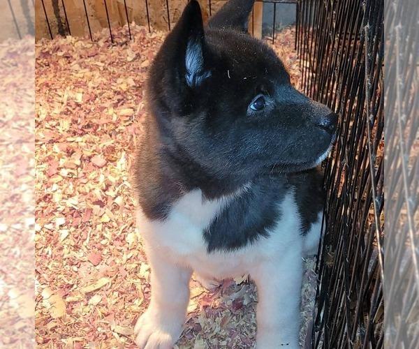Medium Photo #3 Akita Puppy For Sale in MEM, TN, USA