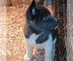 Small Photo #3 Akita Puppy For Sale in MEM, TN, USA