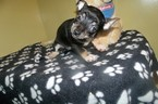 Chihuahua Puppy For Sale in PATERSON, NJ, USA
