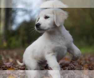 Golden Retriever Puppy for sale in ROWLEY, MA, USA