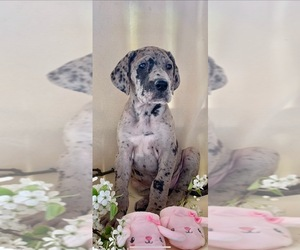 Great Dane Puppy for sale in BIG CANOE, GA, USA
