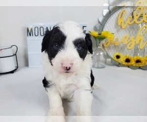 Aussiedoodle Miniature  Puppy for Sale in COLLEGE STA, Texas USA