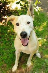 Arrow - Pit Bull Terrier Dog For Adoption
