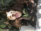 English Bulldogge Puppy For Sale in SAN JOSE, California,