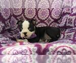 Small #4 Boston Terrier