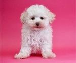 Puppy 9 Poodle (Miniature)