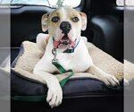 3Yr Old American Bulldog to adopt in McKinney TX