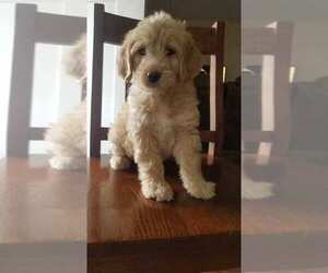 Labradoodle Puppy for Sale in JONESBOROUGH, Tennessee USA
