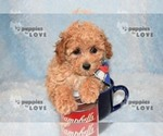 Small #17 Poodle (Toy)