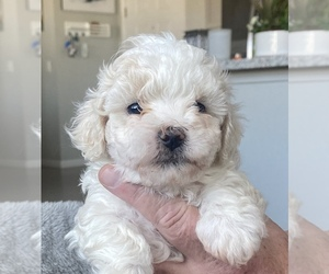 Zuchon Puppy for Sale in RENO, Nevada USA
