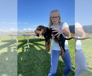 Coonhound Puppy for Sale in MONTE VISTA, Colorado USA