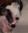 Chinese Crested Puppy For Sale in AUSTIN, TX, USA