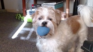 Lhasa Apso-Unknown Mix Dogs for adoption in VERADALE, WA, USA