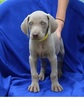 Weimaraner Puppy For Sale in HARRISON, AR,