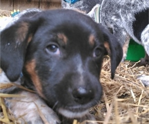Australian Cattle Dog-Border Collie Mix Puppy for sale in LEETONIA, OH, USA