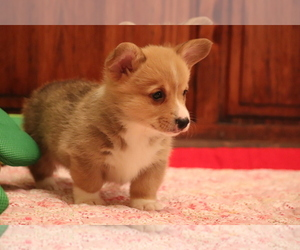 Pembroke Welsh Corgi Puppy for sale in FORT MADISON, IA, USA