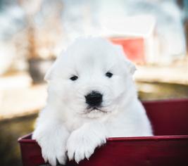 Maremma Sheepdog Puppy for sale in STRAFFORD, MO, USA