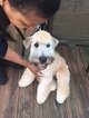 Small #19 Soft Coated Wheaten Terrier