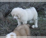 Small #7 Great Pyrenees-Tibetan Mastiff Mix