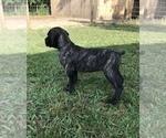 Puppy 6 Cane Corso