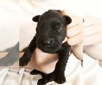 Puppy 6 Goldendoodle-Labrador Retriever Mix