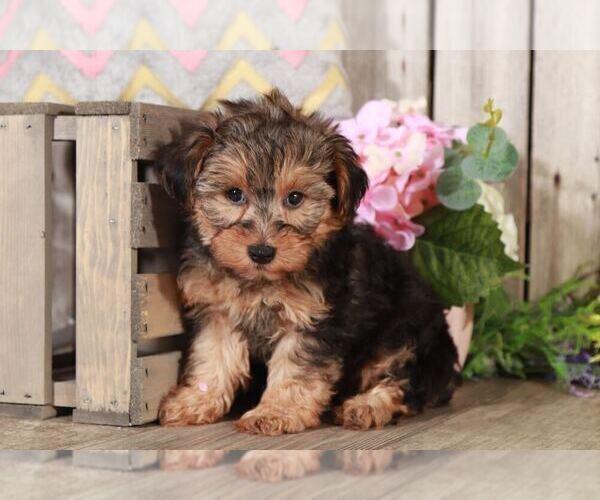 Medium Photo #1 YorkiePoo Puppy For Sale in MOUNT VERNON, OH, USA