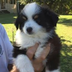 Australian Shepherd Puppy For Sale in BARNESVILLE, GA, USA