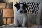 Fox Terrier (Smooth)-Havanese Mix Puppy For Sale in FREDERICKSBURG, OH, USA