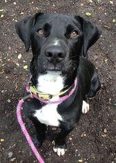 Trigger - Black Labrador Retriever / Great Dane / Mixed (short coat) Dog For Adoption