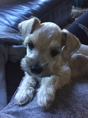 Schnauzer (Miniature) Puppy For Sale in AUSTIN, TX, USA