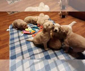 Golden Retriever Puppy for Sale in SILER CITY, North Carolina USA
