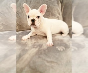 French Bulldog Puppy for Sale in MOORESVILLE, North Carolina USA