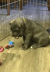 AKC Blue Great Dane Puppies
