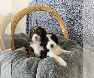 Bernedoodle-Poodle (Standard) Mix Puppy for sale in HELENA, MT, USA