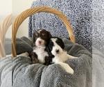 Small Bernedoodle-Poodle (Standard) Mix