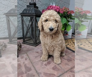 Goldendoodle-Poodle (Standard) Mix Puppy for Sale in CITRUS HEIGHTS, California USA