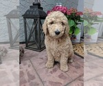 Goldendoodle-Poodle (Standard) Mix Puppy For Sale in CITRUS HEIGHTS, CA, USA