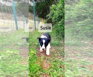 Border Collie Puppy for sale in CLARKRANGE, TN, USA