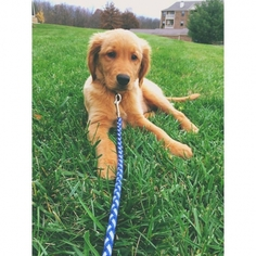 Golden Retriever Puppy for sale in Florence, KY, USA