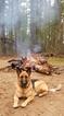 German Shepherd Dog Puppy For Sale in NORTON, MA, USA