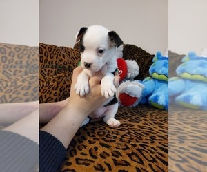 French Bulldog-Mini Australian Shepterrier Mix Puppy for sale in JACKSONVILLE, FL, USA