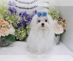 Maltese Puppy For Sale near 89139, Las Vegas, NV, USA