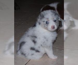 Australian Shepherd Puppy For Sale in HERNANDO, MS, USA