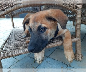 Australian Shepherd-Malinois Mix Dog for Adoption in BRENTWOOD, California USA