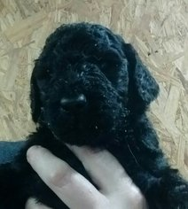 Goldendoodle Puppy For Sale in SPARTA, NC