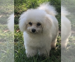 Mother of the Bichon Frise puppies born on 09/14/2020